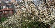 Baharın müjdecisi olan erikler çiçek açtı