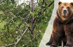 Aç kalan ayı kiraz ağaçlarına zarar verdi
